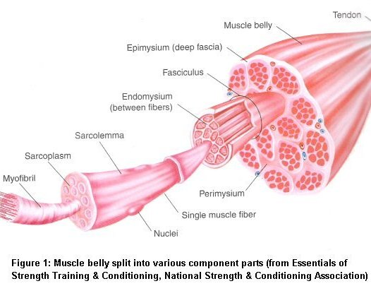 Skeletal Muscle Tissue Engineering