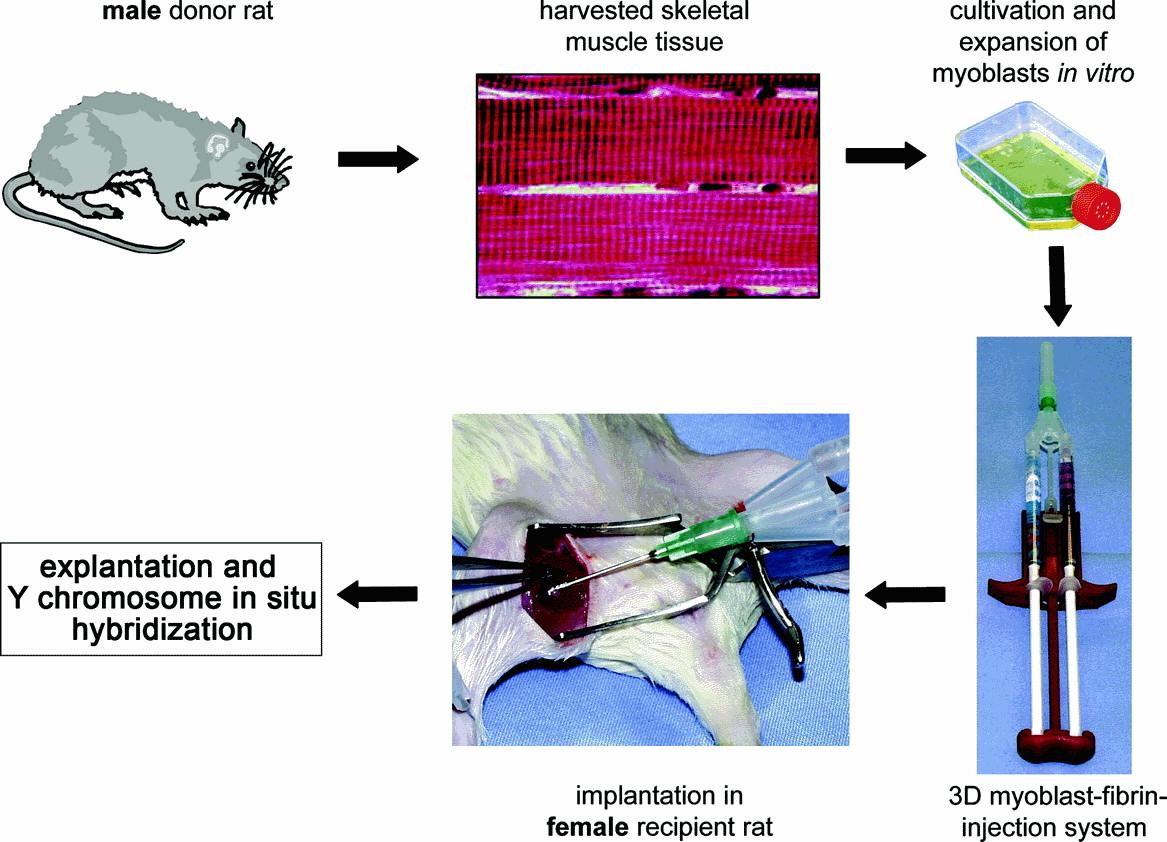 chen2820 / skeletal muscle tissue engineering
